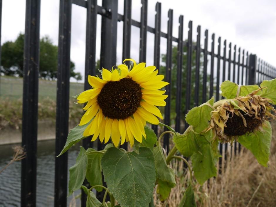 sunflower walthamstow