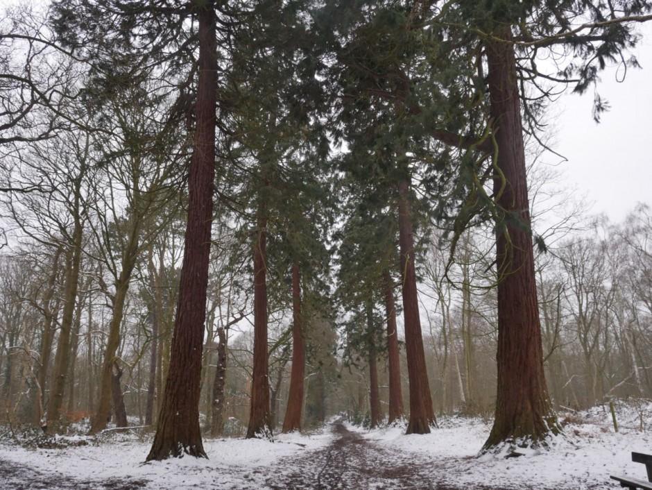 Redwood Trees Havering
